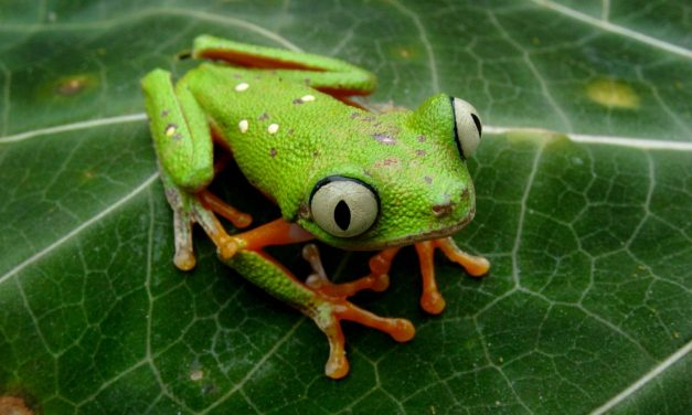 The Top 11 Frogs You Won't Find in Tarapoto, Peru