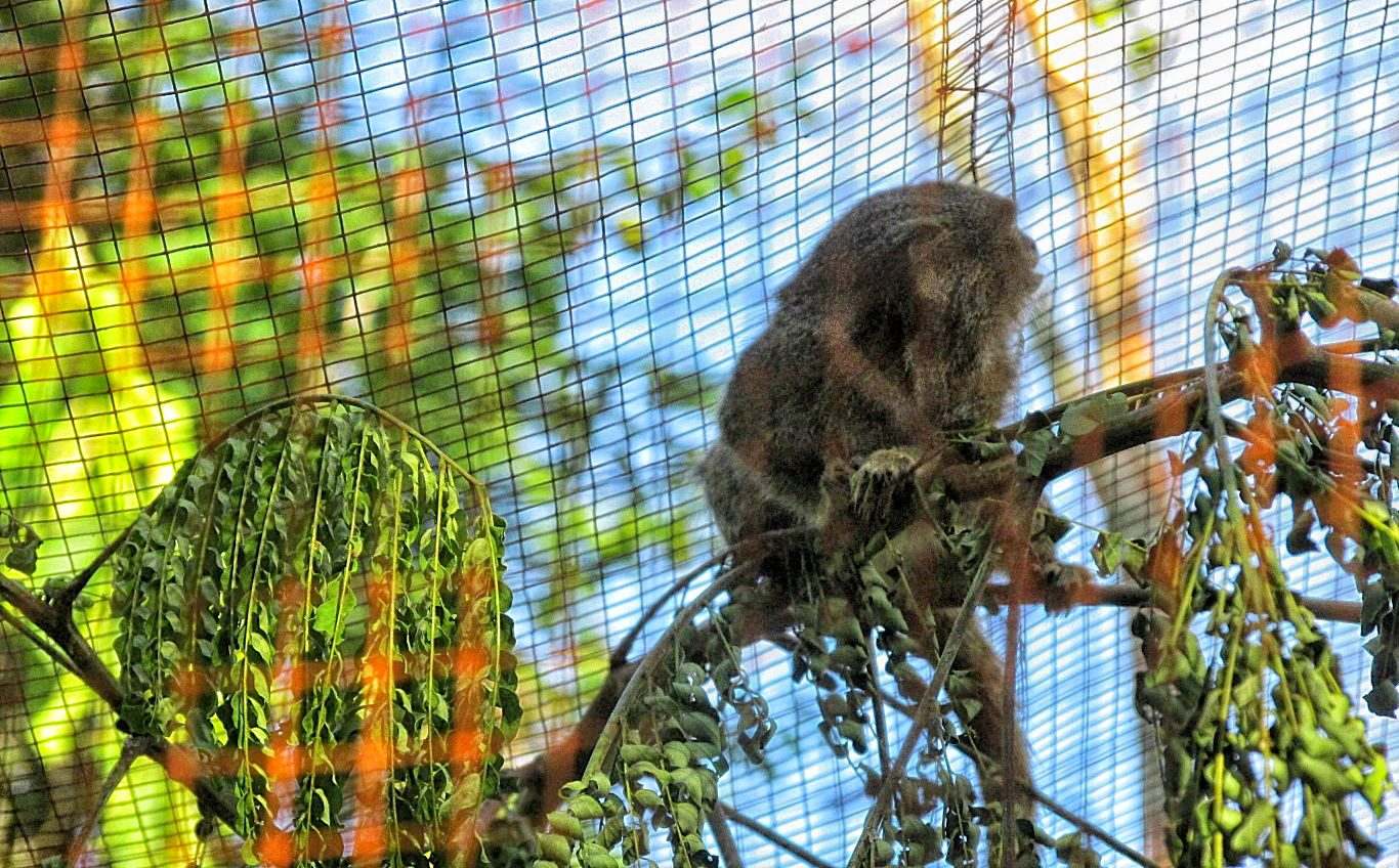 Pygmy marmoset at Pilpintuwasi