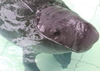 Baby manatee at the Amazon Rescue Center in Iquitos