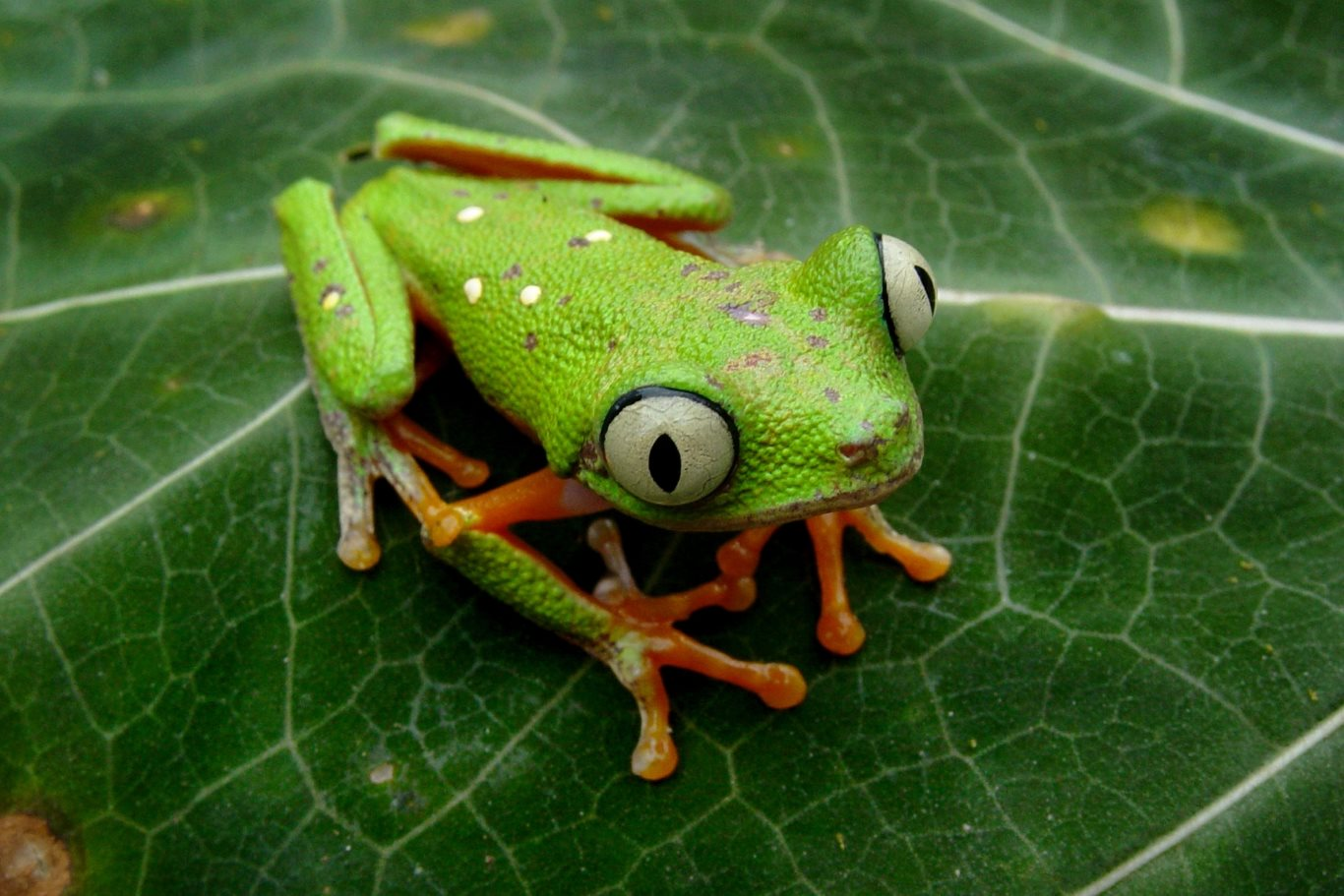 Agalychnis hulli, Hull's Monkey Frog