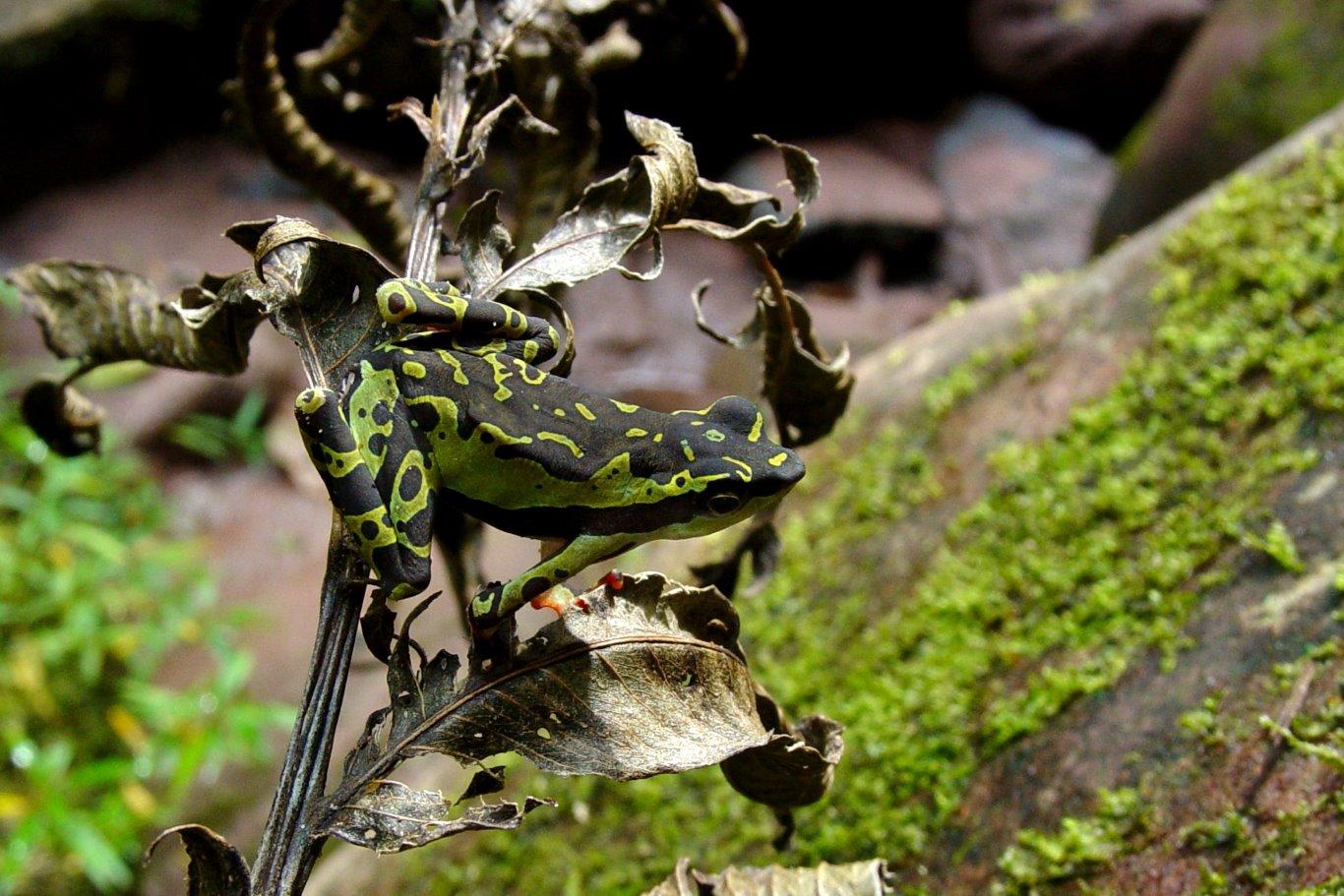 Atelopus pulcher, Harlequin Toad