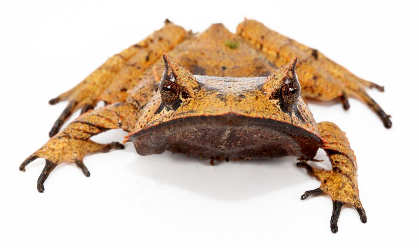 Hemiphractus scutatus, Spix's Horned Frog