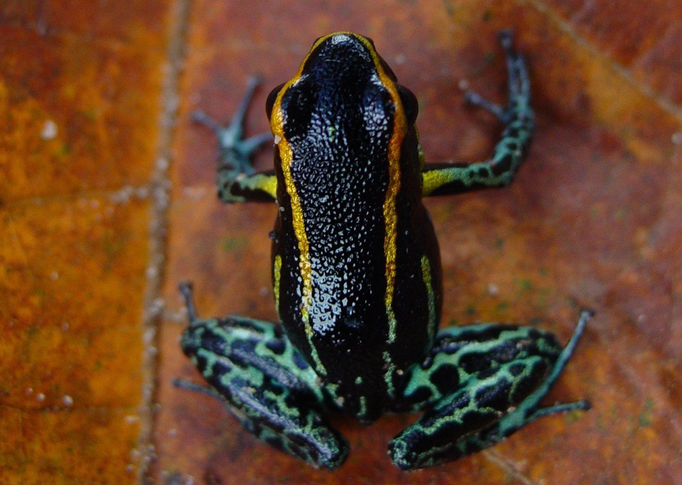 Hyloxalus Azureiventris poison frog