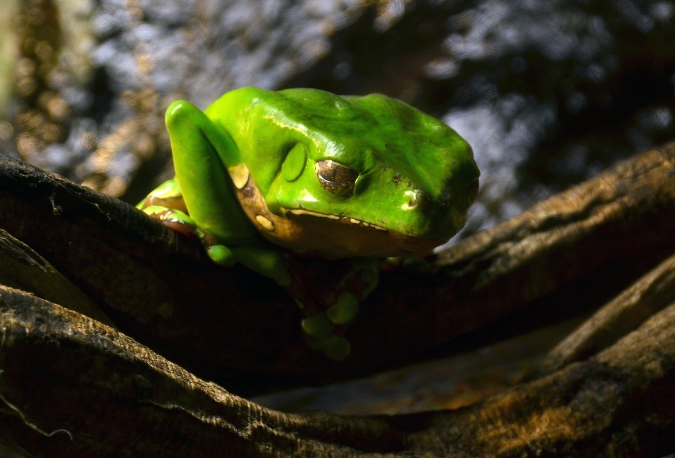 Phyllomedusa bicolor, Giant Monkey Frog