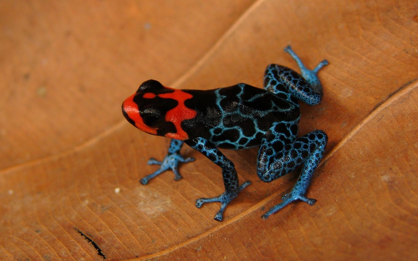 Ranitomeya benedicta, Blessed Poison Frog