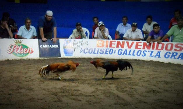 Cockfighting in Peru: The Merchant, the Careador, the Spectator