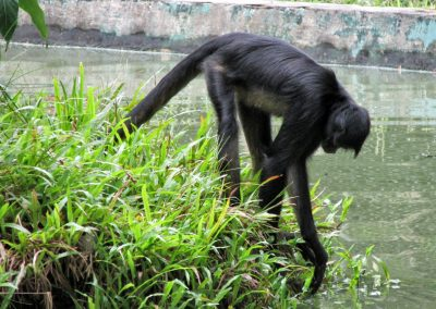 Spider monkey at Quistacocha Zoo, Iquitos