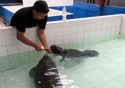 Feeding orphaned manatees in Iquitos